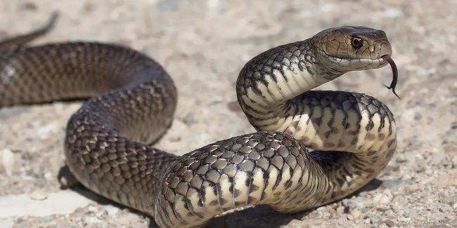 الثعابين - 100،000 حالة وفاة سنوياً