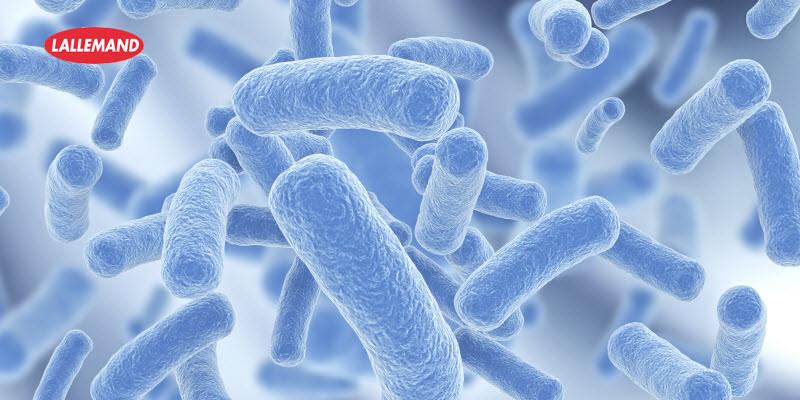 بكتيريا النباتات الملبنة - Lactobacillus Plantarum
