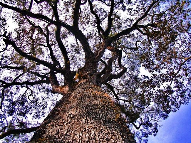 شجرة باترياركا دا فلوريستا أو Patriarca da Floresta - عمرها 3،000 عام