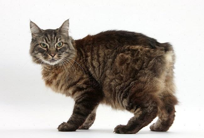 قط المانكس