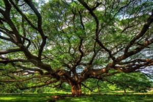 شجرة الكاجو بيرانجي