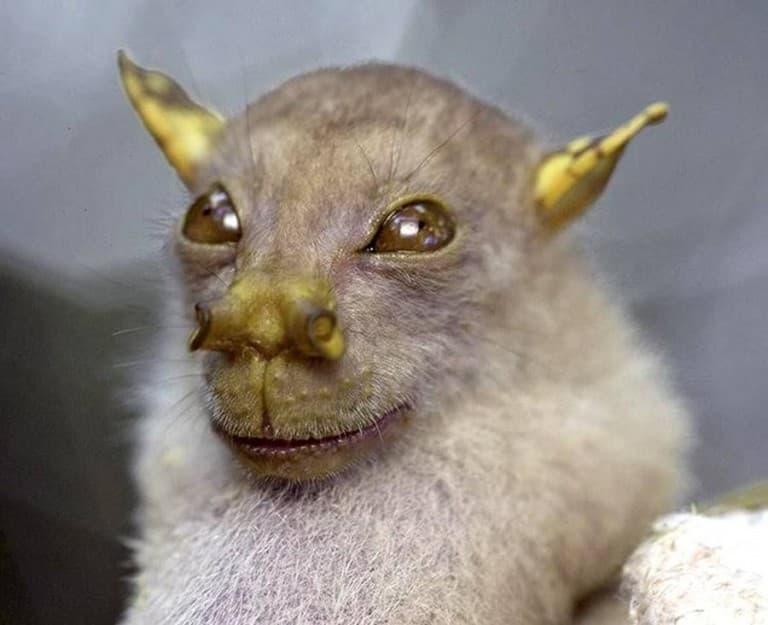 الخفاش أنبوبي الأنف Murininae