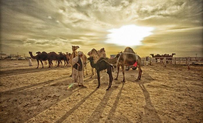 مصر والسعودية - ما هو سعر الجِمال؟