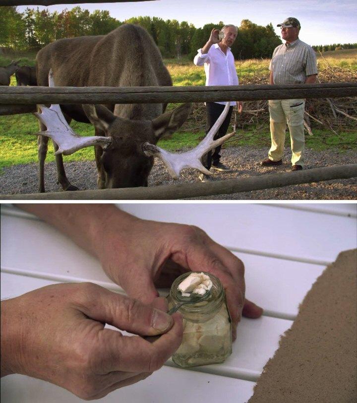 جبن Moose Cheese بسعر 1000 دولار للكيلوغرام الواحد (ما يعادل 455 دولار للباوند)
