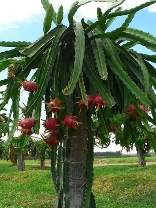 شجرة التنين