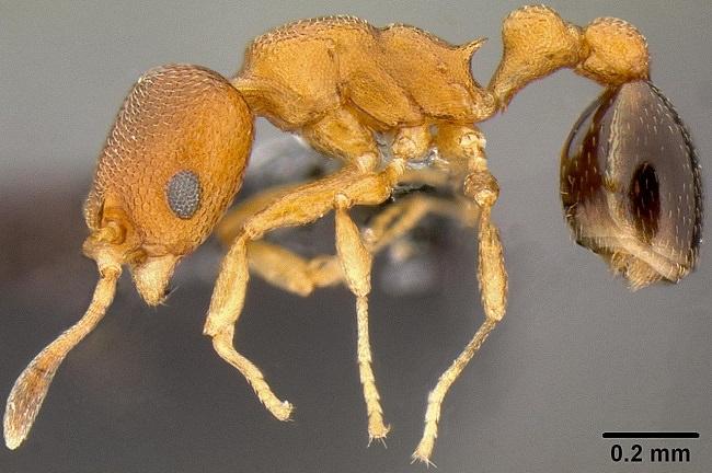 مافيا النمل