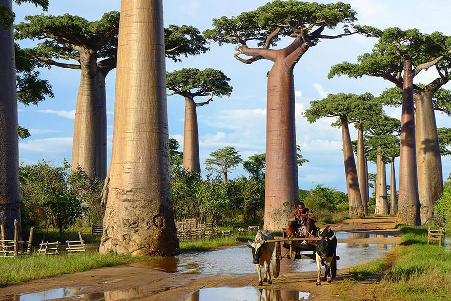 شجر الباأوباب في مدغشقر