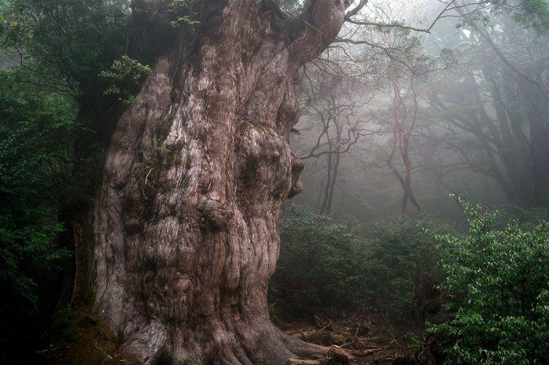 شجرة جومون سوجي أو Jōmon Sugi اقدم اشجار العالم - عمرها 5،000 عام