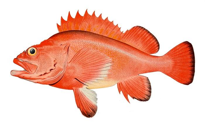السمك الصخري ذي الأعين الخشنة - 205 سنين