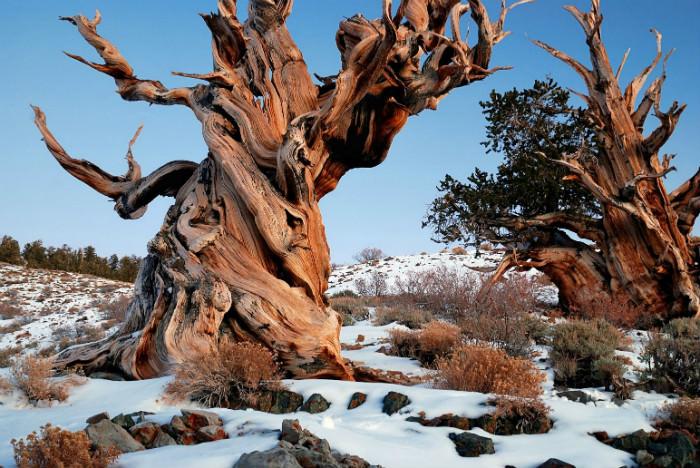 شجرة متوشالح أو Methuselah - عمرها 4،846 سنة