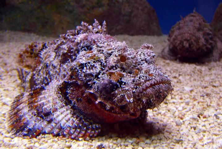 السمك الحجري
