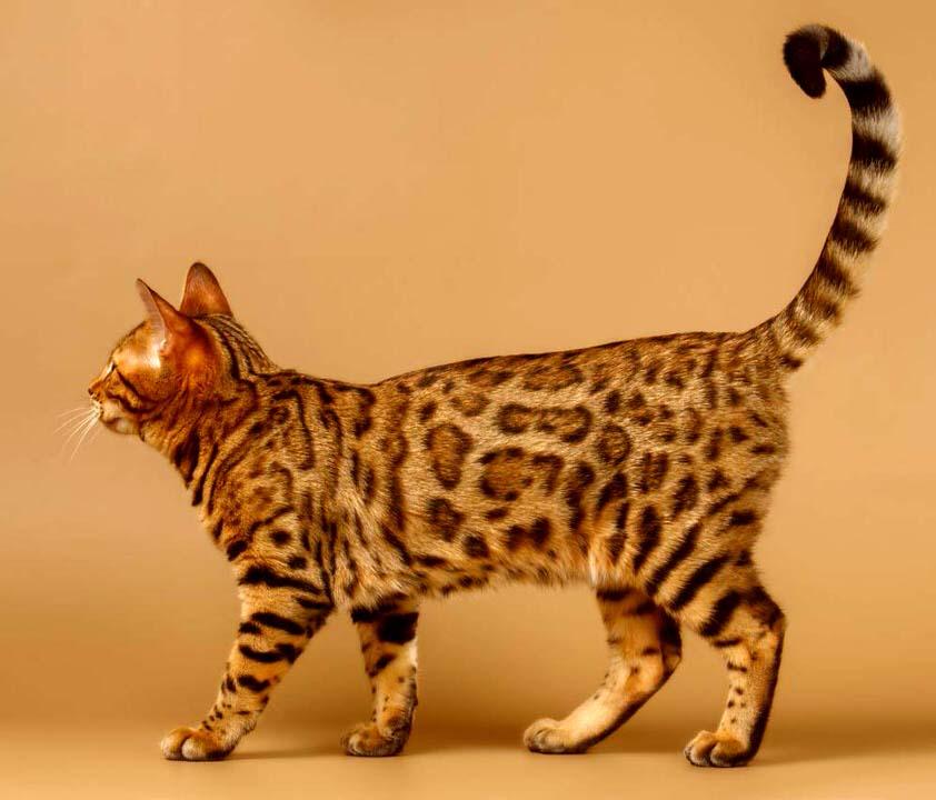 القط البنغالي - 1،000 إلى 25،000 دولار