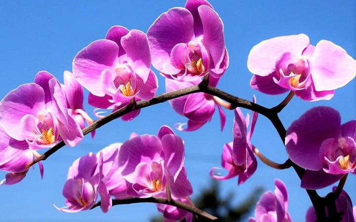 زهرة الأوركيد (Orchid Flower)