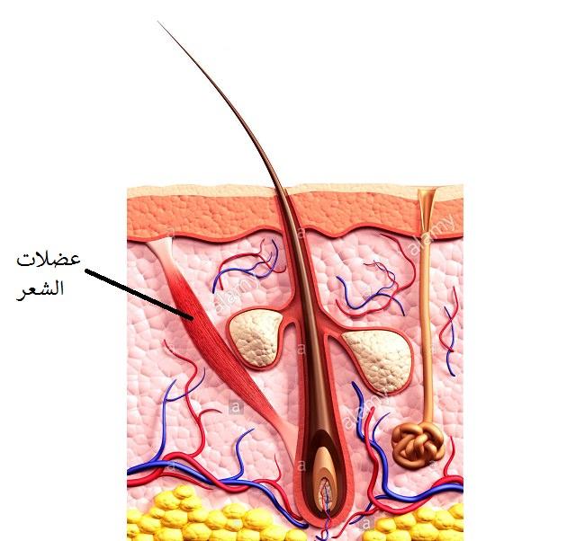 العضلات الموقفة للشعر