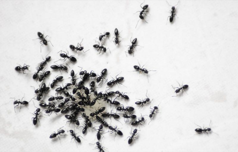 الليمون للتخلص من النمل الاسود