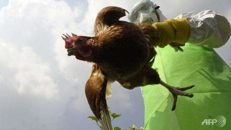 فيروسات انفلونزا الطيور - معدل الوفيات 70%