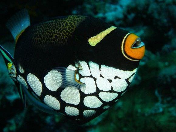فصيلة (Trigger Fish)