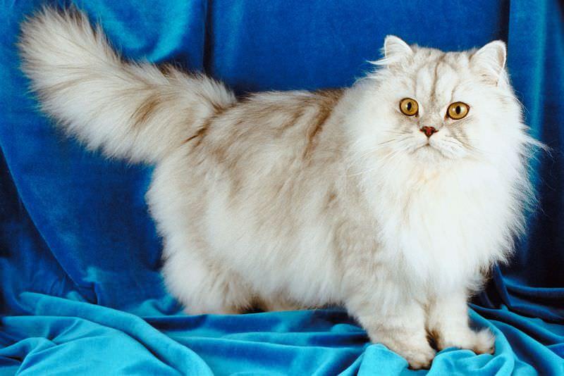 القط الشيرازي - اشهر انواع القطط في العالم