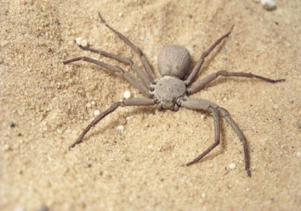 العنكبوت الرملي