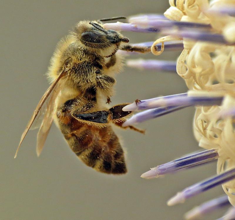 نحلة العسل الشرقية في أوروبا