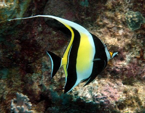 فصيلة أسماك الفراشة (Butterfly Fish)