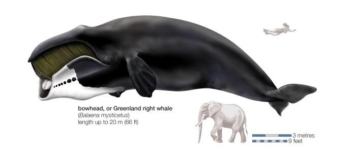 الحوت القطبي - 211 سنة