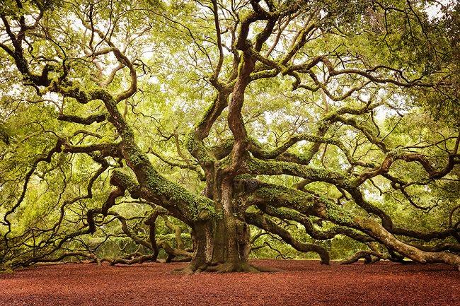 شجرة البلوط الملائكي في جزيرة جون في كارولينا الشمالية