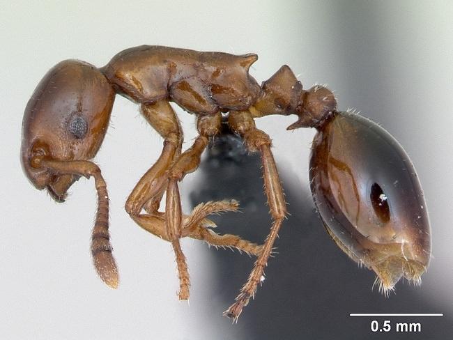 النمل النجس