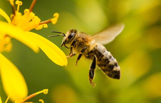 في الثانية الواحدة، تهز النحلة اجنحتها 270 مرة