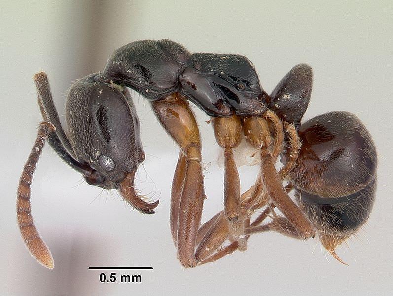 النمل اللاسع