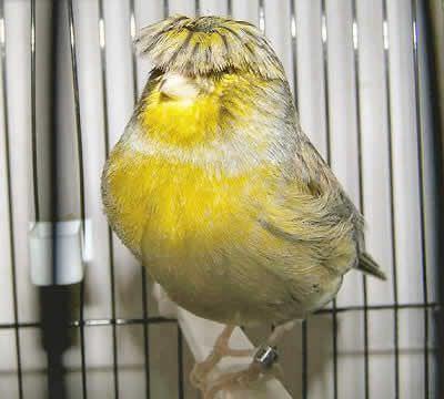 الجلوستر (Gloster Fancy Canary)