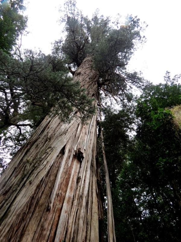 شجرة الأركس أو Alerce - عمرها 3،640 عام