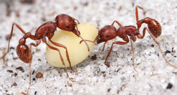 نملة المهر
