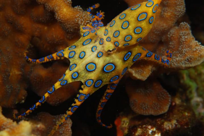 أخطبوط الحلقات الزرقاء