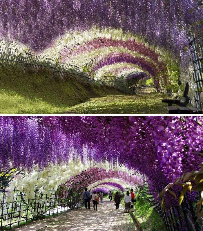 مغارة زهور الـ«وستريا» ـ Wisteria Tunnel