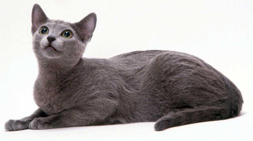 القط الروسي - 300 إلى 4،000 دولار