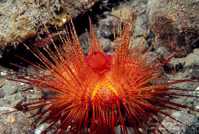 قنفذ البحر الأحمر - 200 سنة