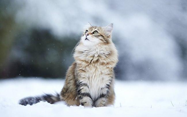 القط السيبيري