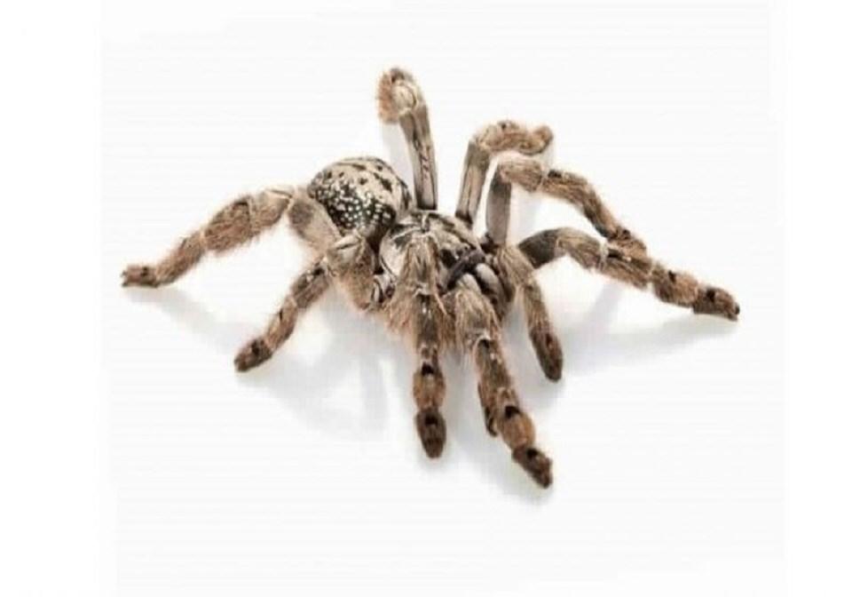 العنكبوت المهدب الزخرفي