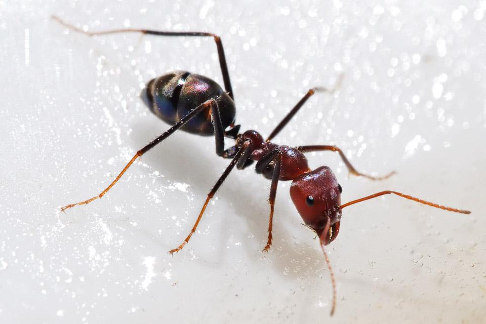 النملة بالت