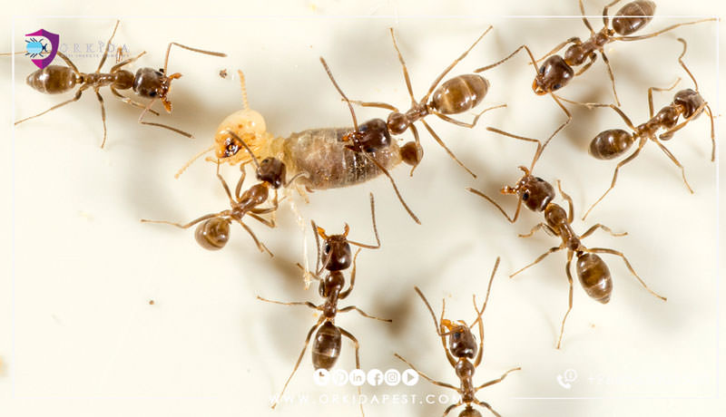 النمل الأرجنتيني