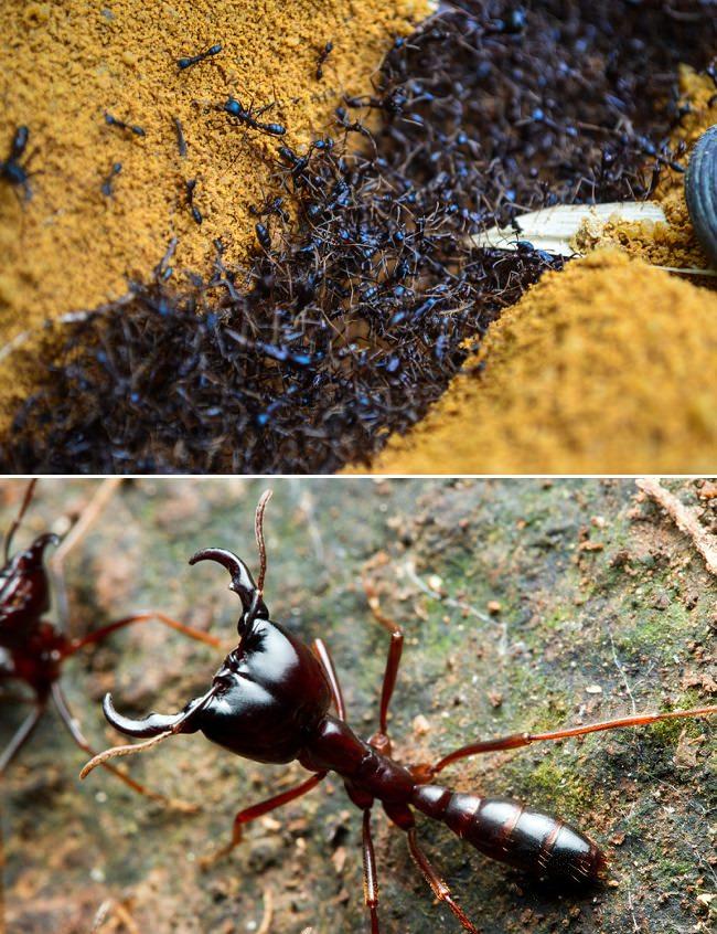 النمل الإفريقي