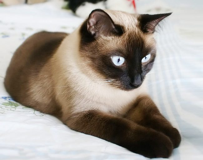 القط السيامي - طباع حادة وردود فعل غير متوقعة