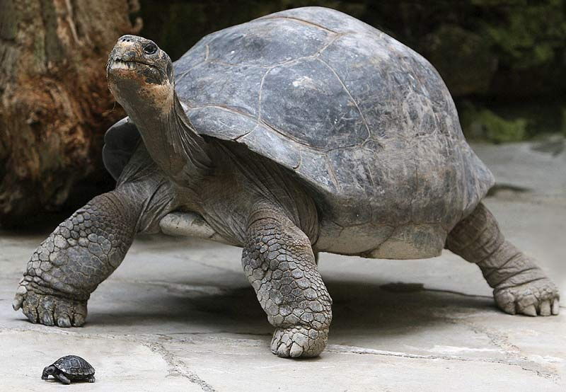سلحفاة غالاباغوس - 182 سنة ... أكثر الحيوانات البرية تعميرًا