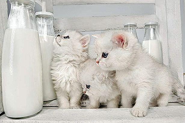 الحليب مضر على القطط