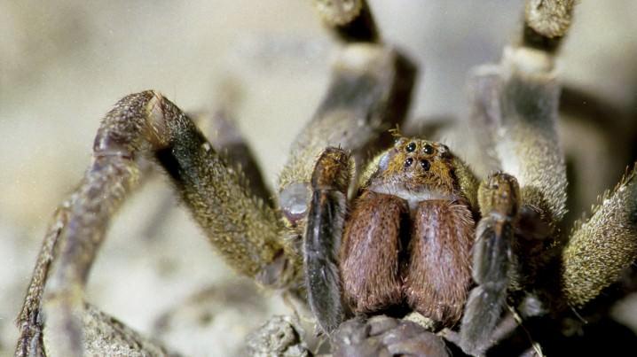 العنكبوت المتجول البرازيلي