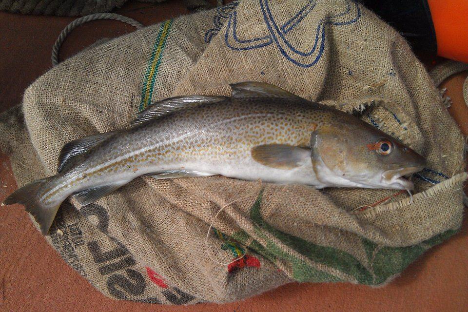 سمك القد - نسبة البروتينات 17.6%