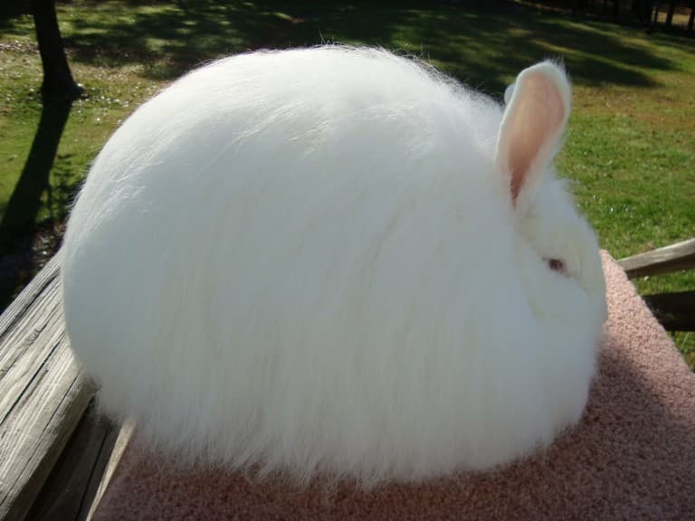 أرنب الأنجورا Angora Rabbit