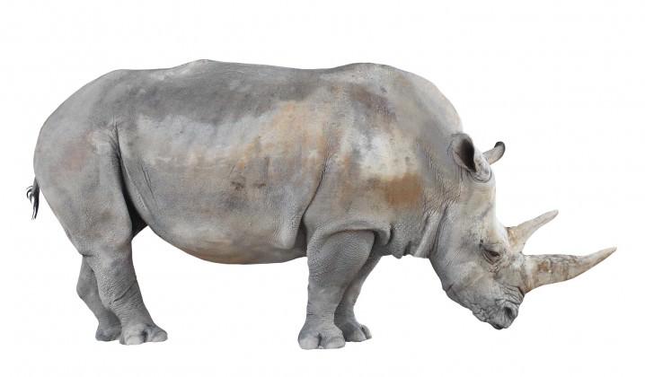 قرون حيوان وحيد القرن الأبيض الشمالي