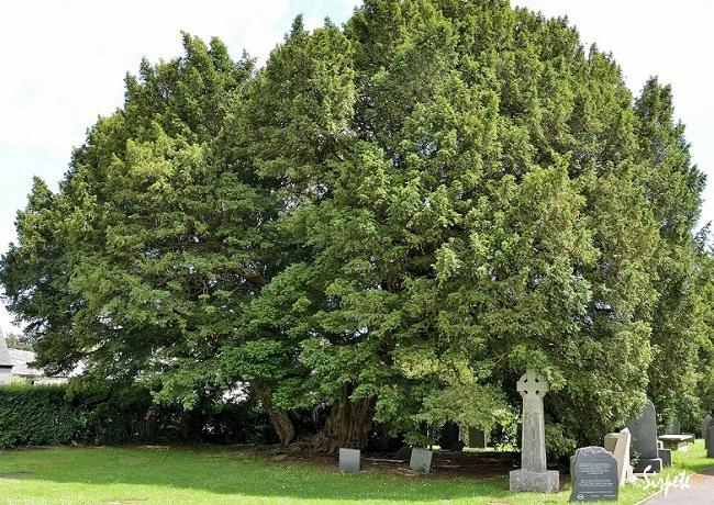 شجرة الطقسوس أو Llangernyw - عمرها 4،000 عام
